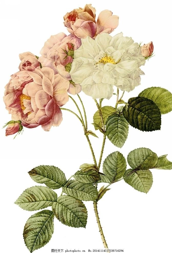 手绘月季 月季花 玫瑰 植物 复古 画风 水彩 写实 手绘花卉