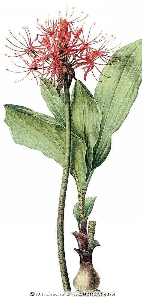 复古 彼岸花 曼珠沙华 红花石蒜 手绘植物 引魂之花 植物 花朵 绘画