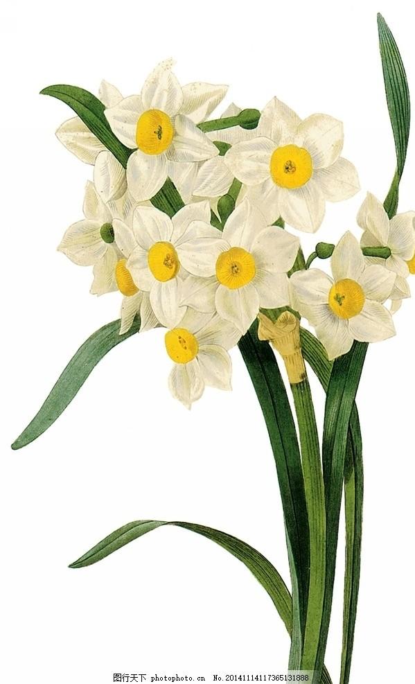 手绘水仙花 手绘 水仙 植物 复古 画风 水彩 写实 手绘花卉 花朵 绘画