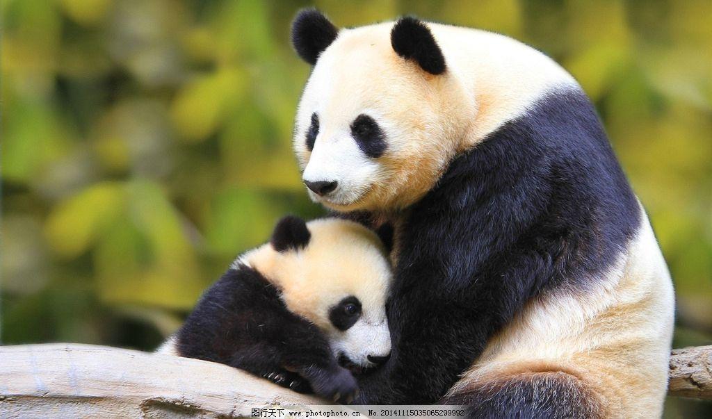 熊猫 国宝 野生动物 摄影图库 生物世界 四川大熊猫