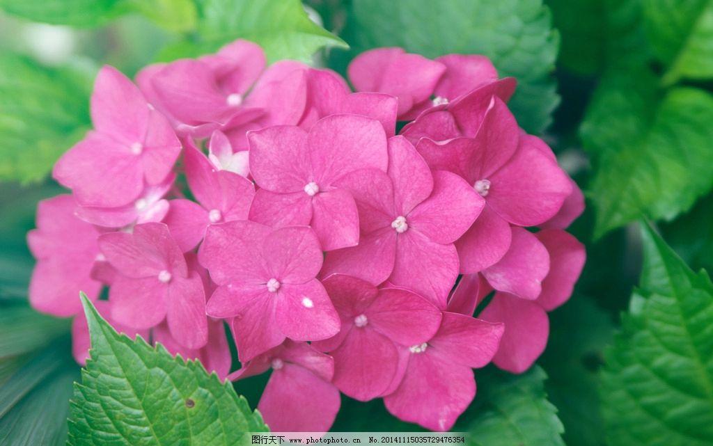 粉色的绣球花图片