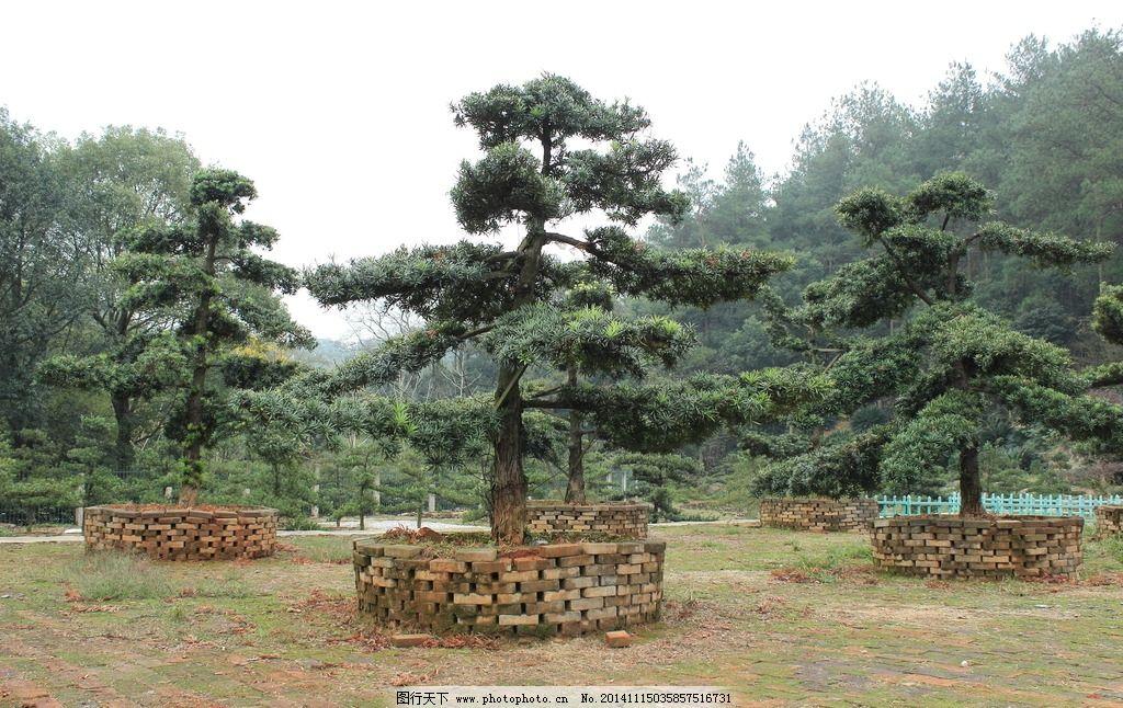 造型树罗汉松图片_树木树叶