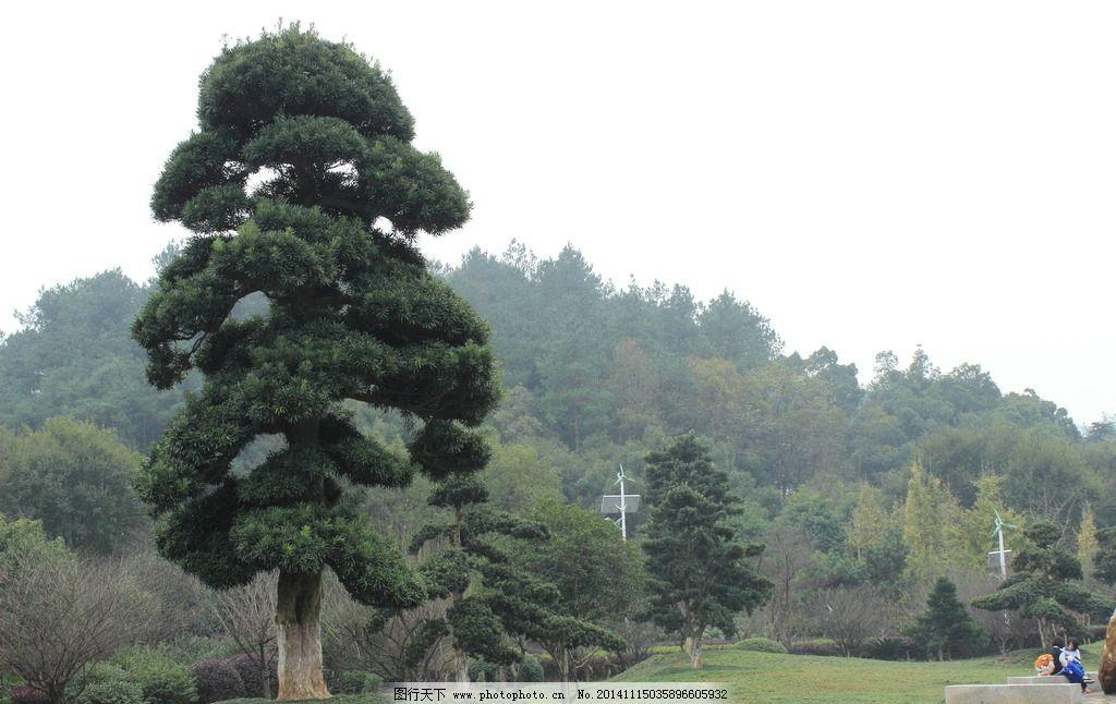 造型树 罗汉松 松科 烈士园林 景观树 摄影 生物世界 树木树叶 350dpi