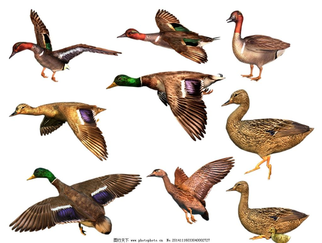 鸭子素材 3d 麻鸭 鸭子动态 鸭子静态 攸县麻鸭 绿头鸭 动物 设计 psd