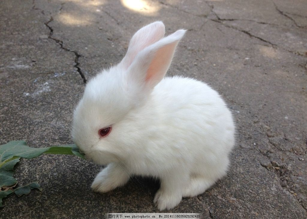 小白兔 兔子 免宝宝 白色兔子