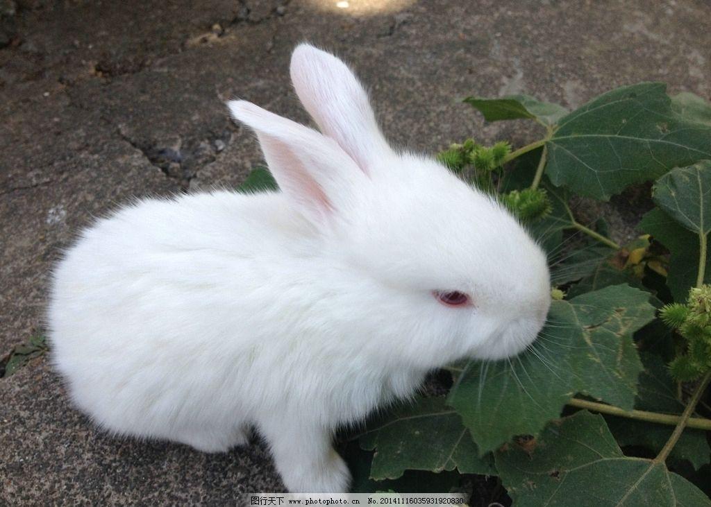 白色兔子 可爱小白兔
