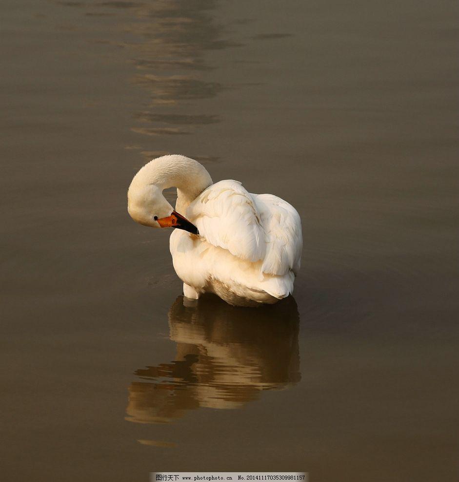 白天鹅 天鹅 水中天鹅 倒影 梳理羽毛 鸟 鸟类 大鸟 天鹅 摄影 生物