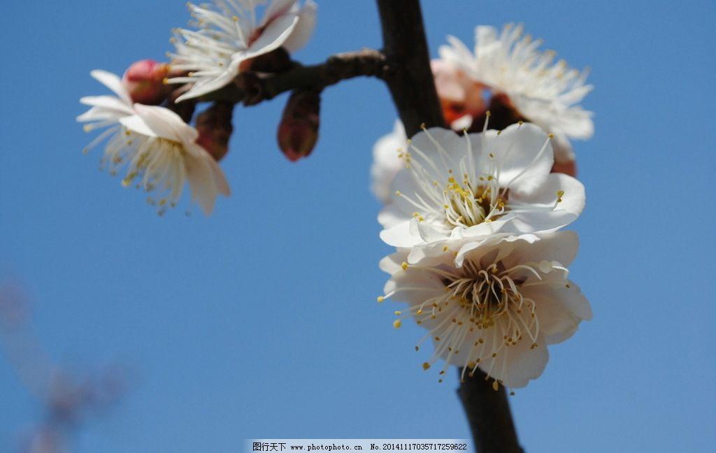 梅花 花朵 花卉 绽放 鲜艳 树枝 梅花树 摄影 生物世界 花草 300dpi