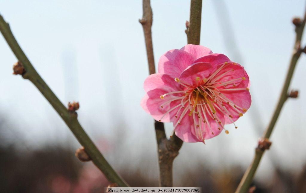 梅花 花朵 花卉 绽放 鲜艳 树枝 梅花树 摄影