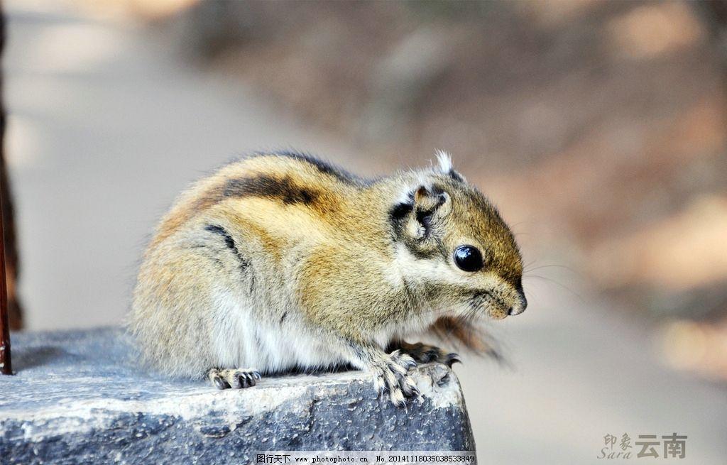 松鼠 动物 森林 可爱 云南 普达措 摄影 生物世界 野生动物 300dpi