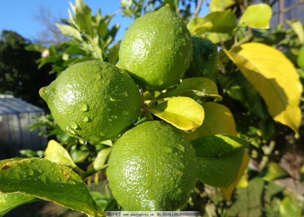 蓝天 柠檬树 柠檬 树干 树枝 树叶 露水 新西兰风光 摄影 生物世界