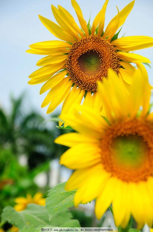 奥林匹克公园向日葵 秦皇岛 风景 风光 花 植物 自然 唯美 清新