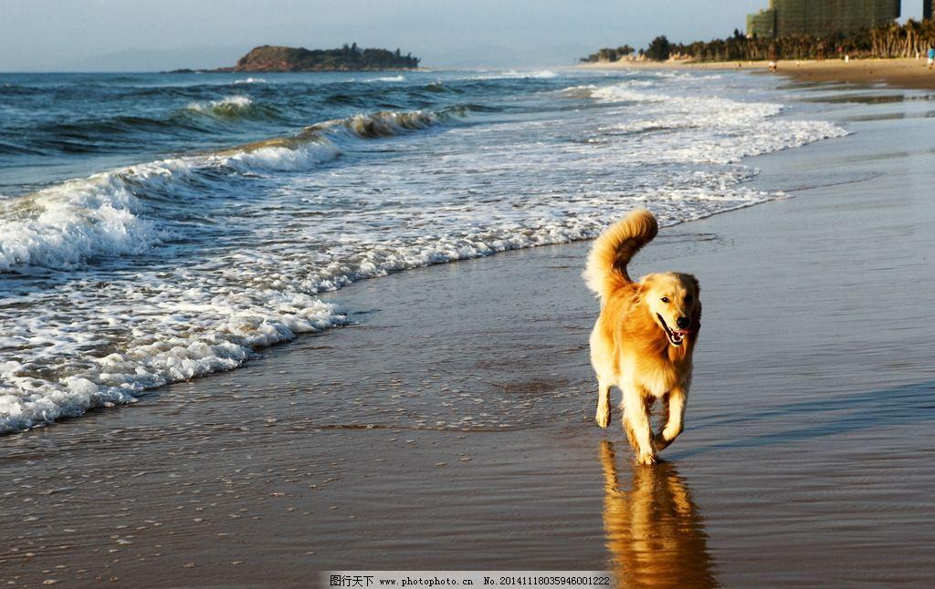 金毛 狗狗 狗狗与海 土豪金 北方狗到海边 动物摄影 宠物摄影 动物