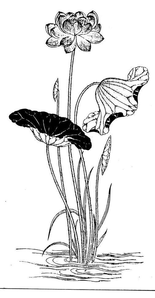 莲花 荷叶 荷花 花朵