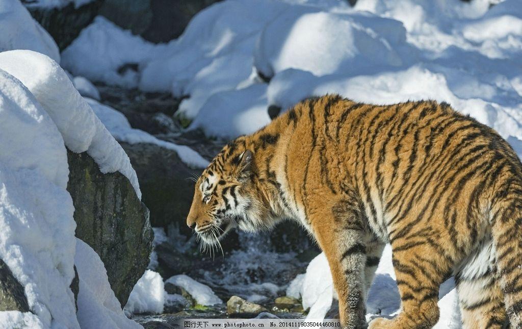 老虎 东北虎 兽中之王 野兽 猛兽 动物 雪地 冬天 冬季 摄影 生物世界