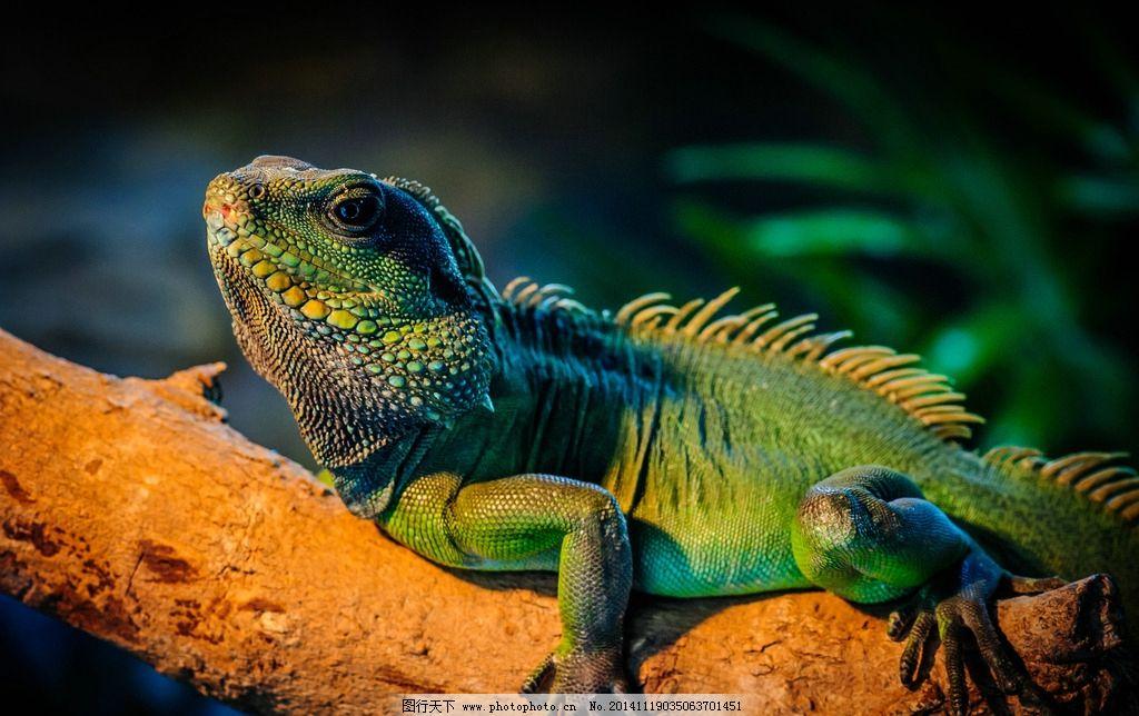 蜥蜴 绿鬣蜥 鬣蜥 另类宠物 动物 爬行 高清写真 野生动物 摄影 生物