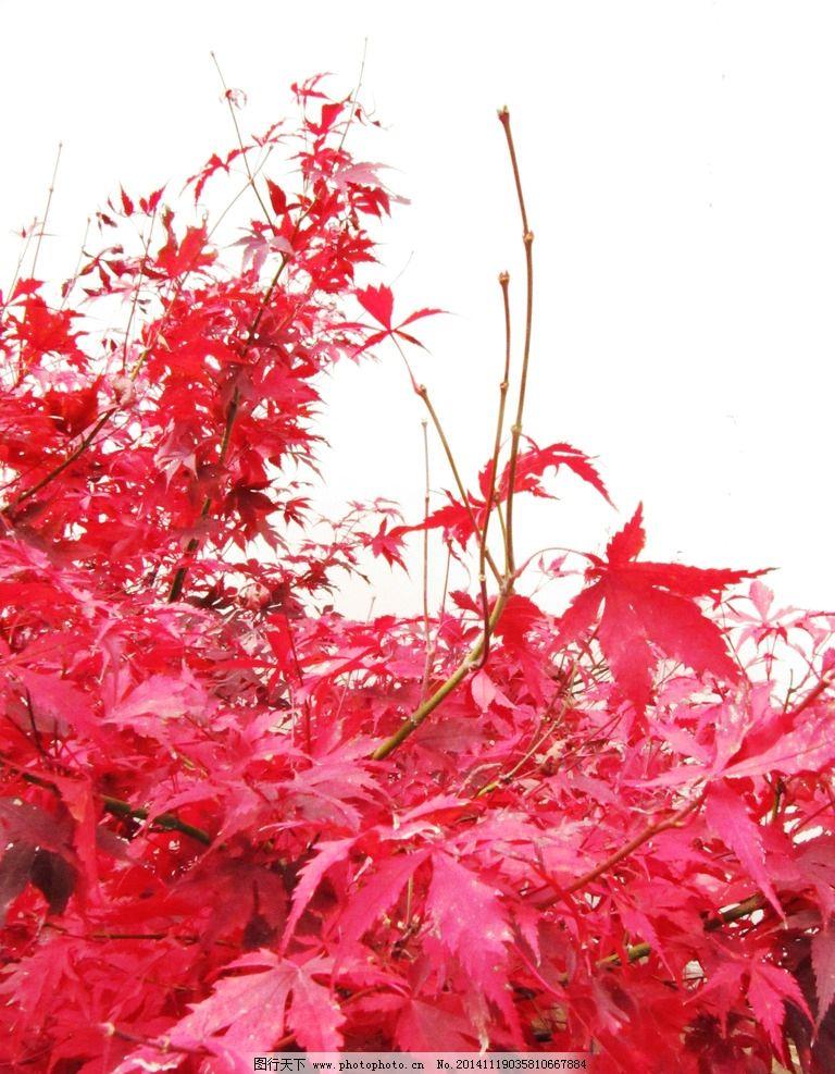 米亚罗 枫叶 红色 秋天 摄影 原创 摄影 生物世界 树木树叶 180dpi