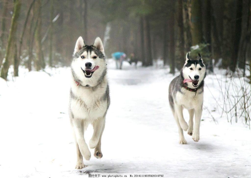 狗 小狗 动物 宠物 家畜 雪地 冬季 冬天 摄影