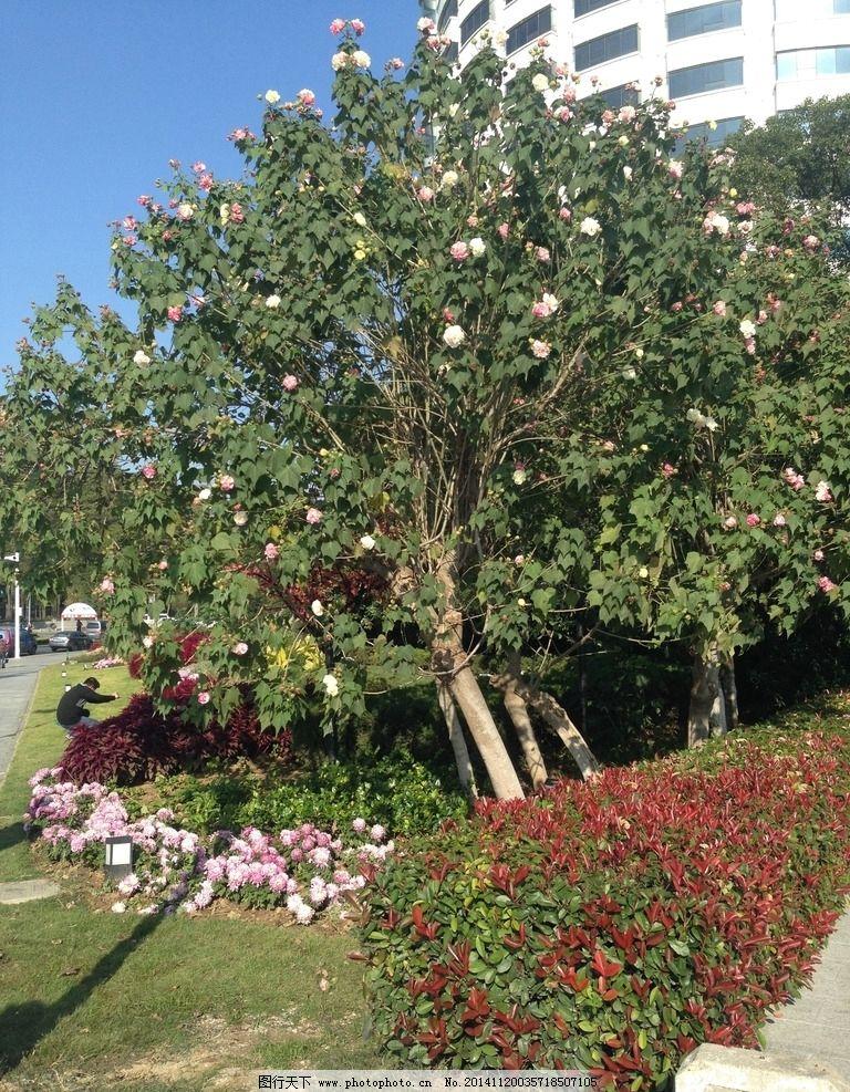 木芙蓉 落叶灌木 园林植物 景观植物 观花植物 园林植物图库 摄影