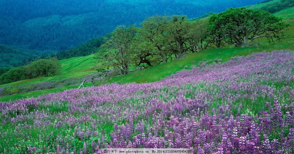 薰衣草 山坡 树林 自然 花毯 山林 自然 摄影 自然景观 自然风景 300