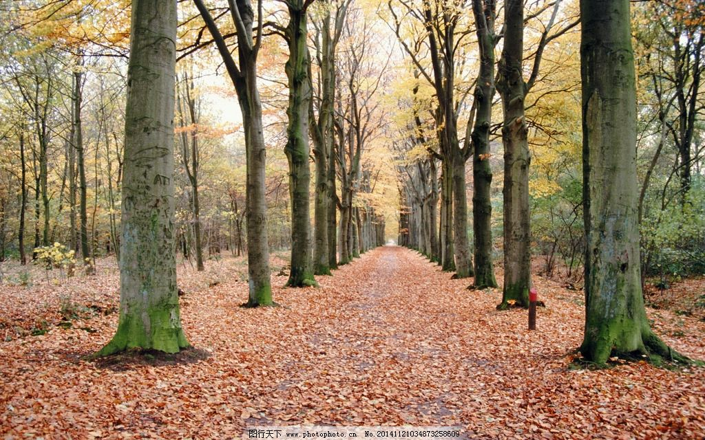 落叶 秋天 大树 黄色 树林 摄影 自然景观 自然风景 300dpi jpg