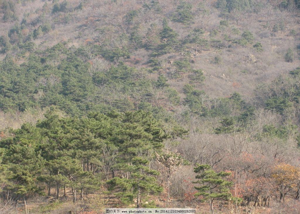 山坡 山石 高山 红叶 园林景观 风景 初冬 松树 自然风景 摄影 自然景