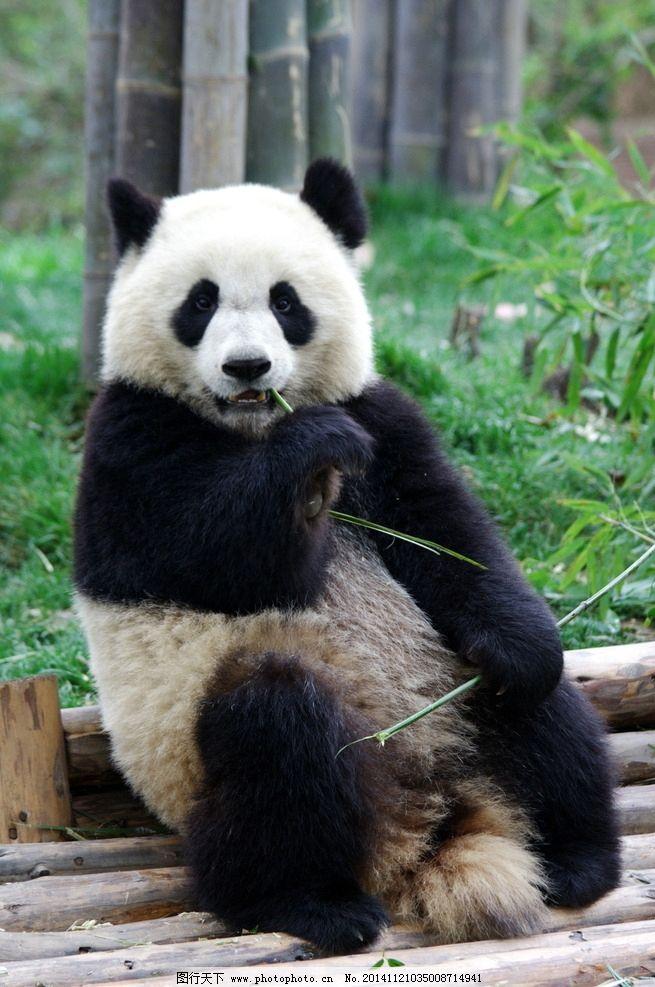 大熊猫 可爱 熊猫 国宝 动物 野生动物 摄影 生物世界 野生动物 72dpi