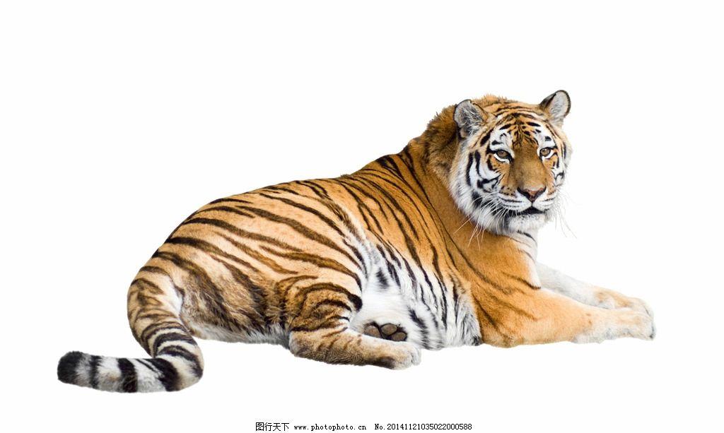 超高清老虎 东北虎 老虎 猛虎 野兽 猫科动物 猛兽 食肉动物 凶猛