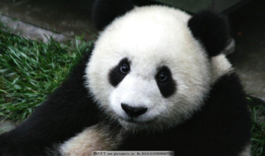秦皇岛 野生动物 动物 动物园 熊猫 大熊猫 可爱 保护动物 珍稀动物