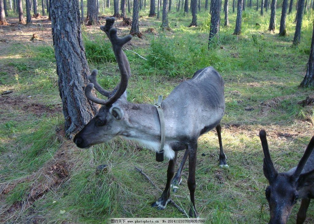 驯鹿群图片_野生动物_生物世界_图行天下图库