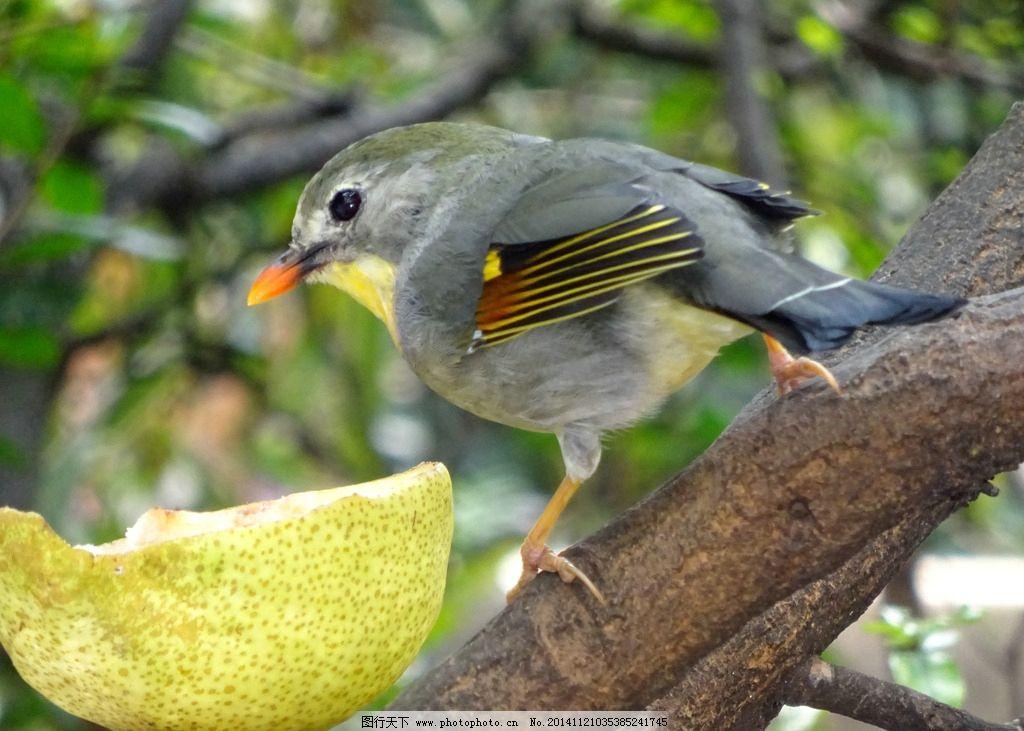小鸟 鸟吃食 小鸟与食物 摄影 生物世界 鸟类