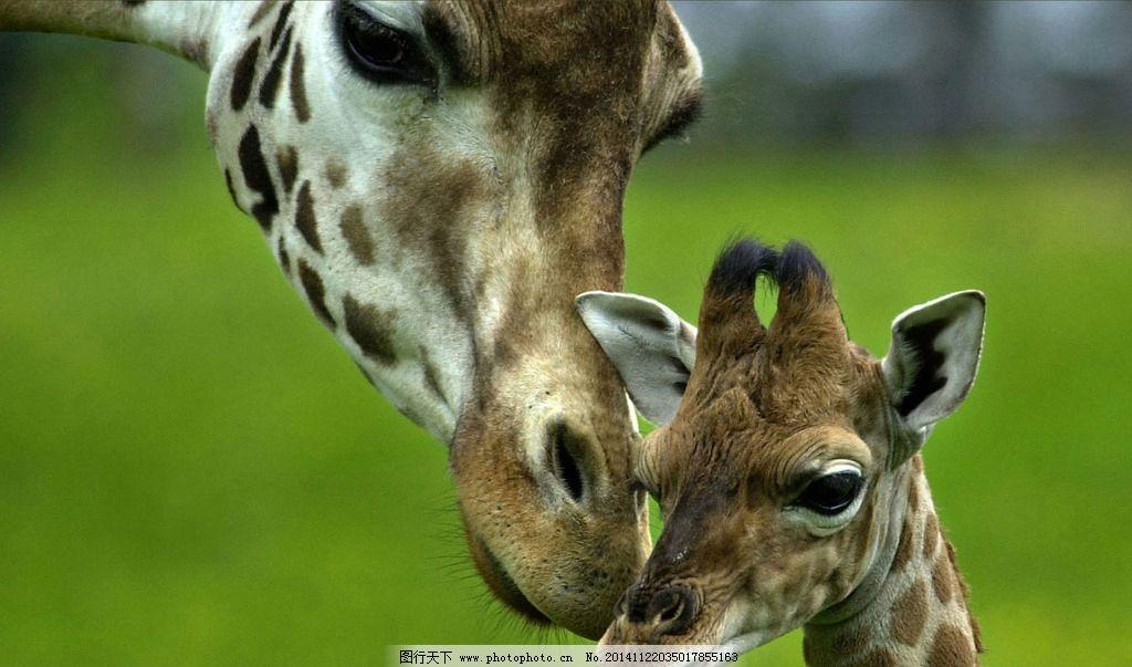 长颈鹿 长脖子 动物 小长颈鹿 野生动物 摄影 生物世界 野生动物 100