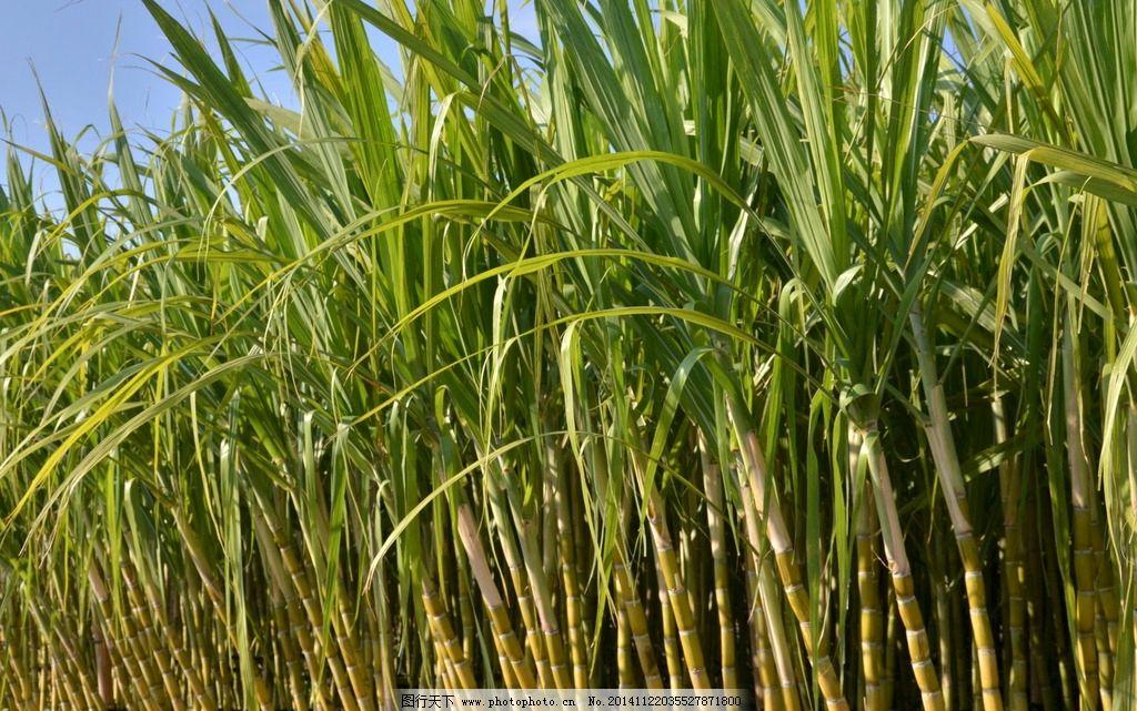 幼儿园手工制作甘蔗材料