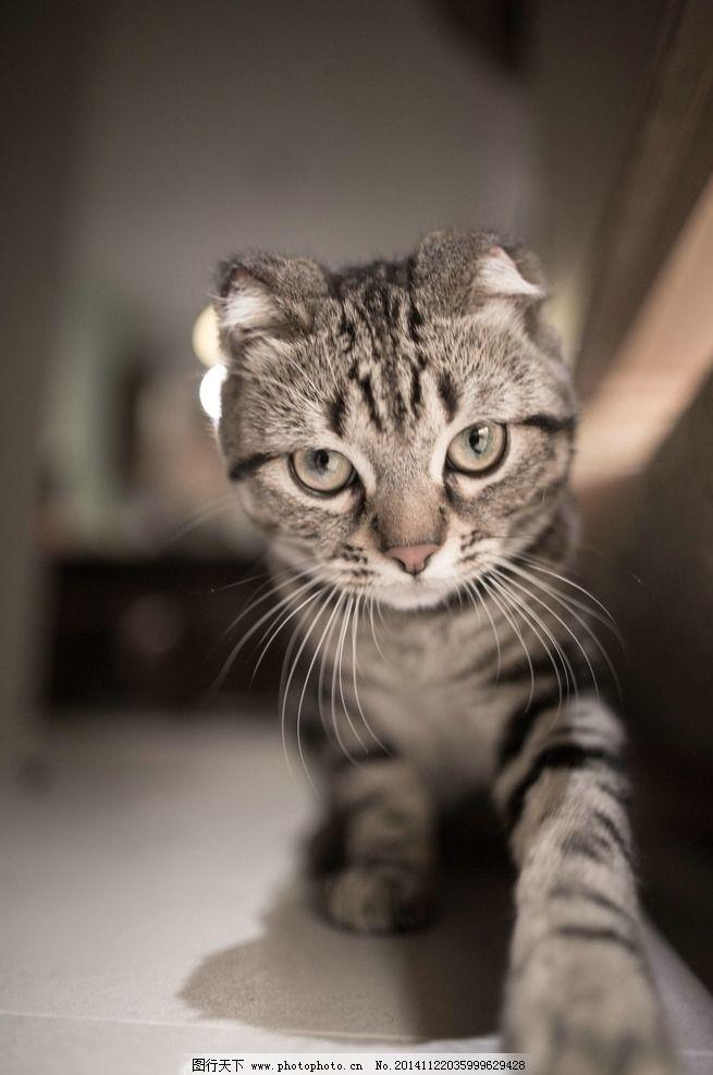 猫 宠物 动物 折耳猫 虎斑猫  摄影 生物世界 家禽家畜 240dpi jpg