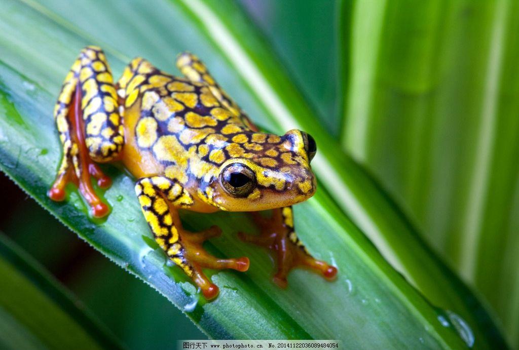 热带雨林青蛙 青蛙 雨蛙 热带雨林 摄影 动物 两栖动物 动物矢量 摄影