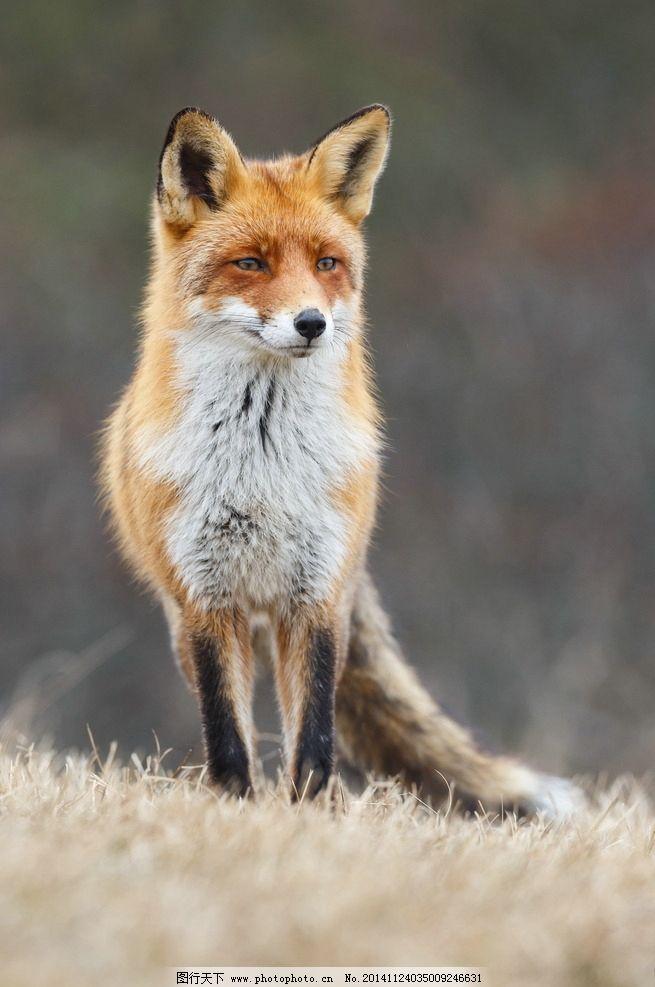 小狐狸 赤狐 动物 野生动物 摄影 狐狸摄影 图片素材 生物世界