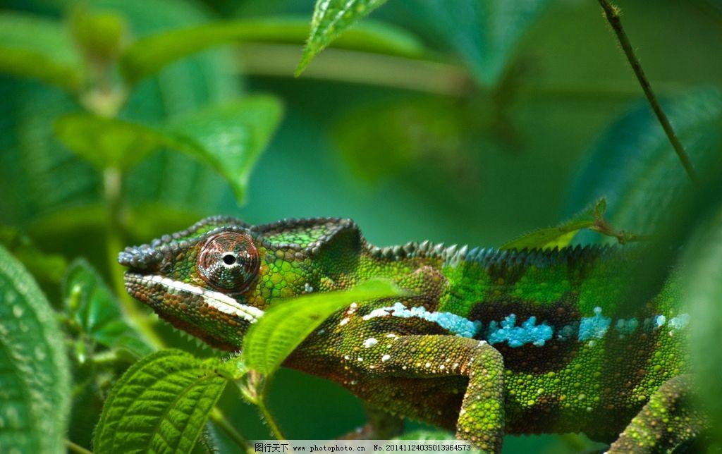 变色龙 动物 野生动物 高清 动物世界 蜥蜴 热带雨林 动物矢量 摄影