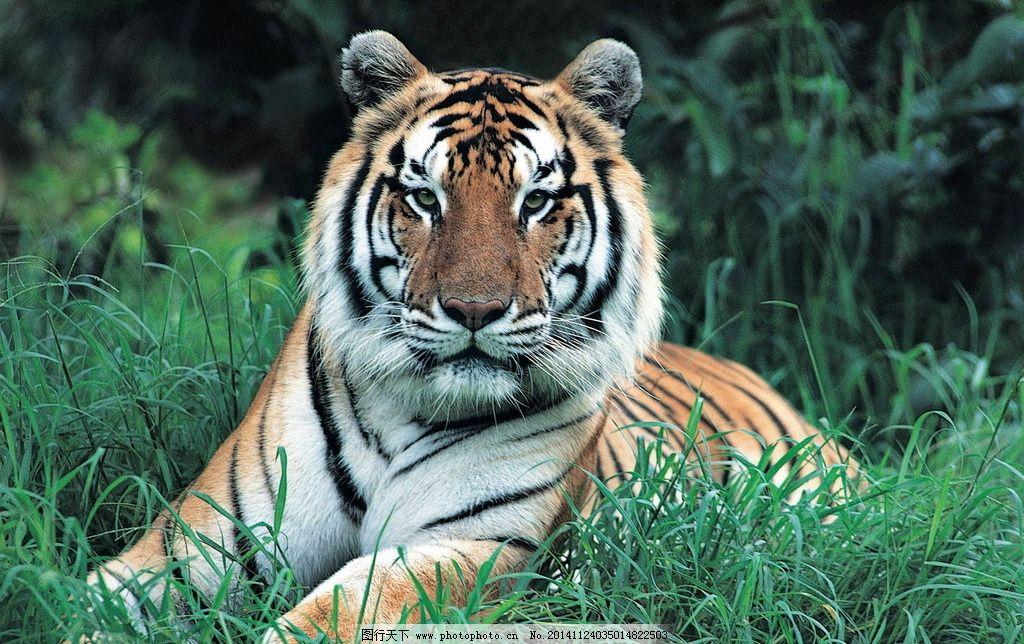 草丛野生老虎 青草 野草 猛虎 保护动物 动物世界 摄影