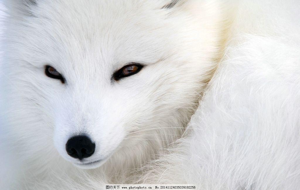 狐狸 小狐狸 动物 野生动物 保护动物 小动物 动物矢量 摄影 生物世界