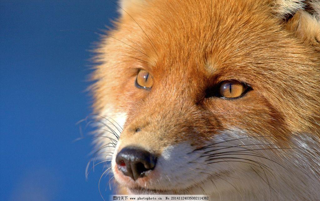 狐狸 小狐狸 动物 野生动物 保护动物 小动物 动物矢量 摄影