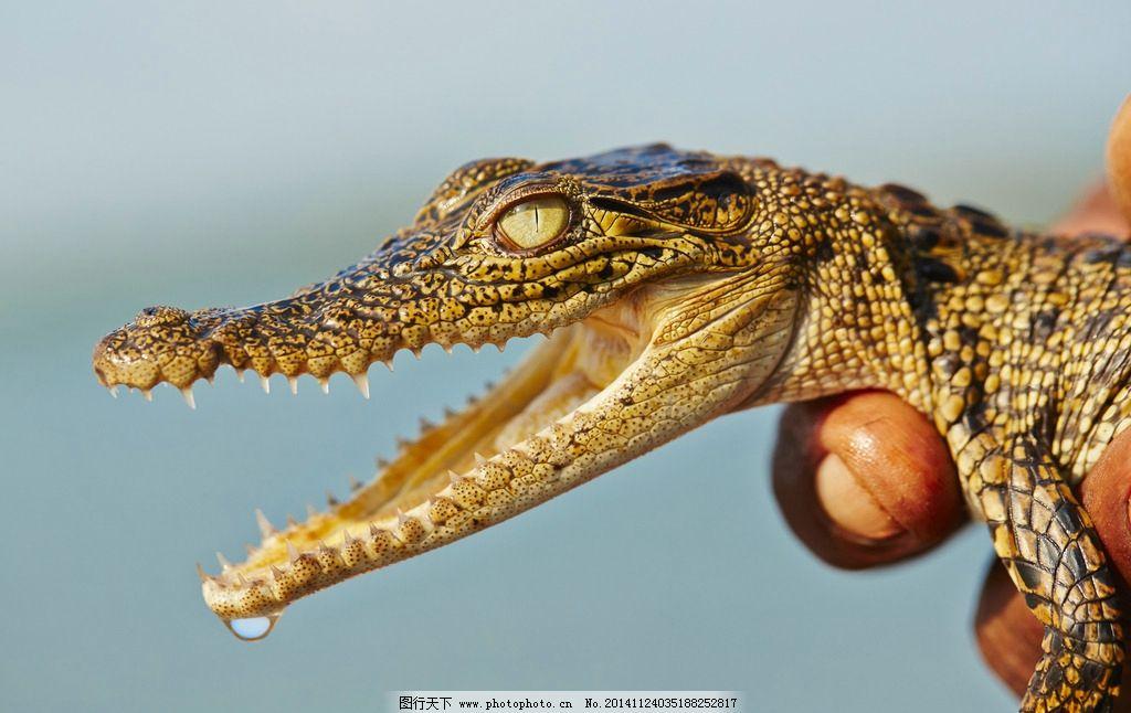 鳄鱼 两栖动物 凶猛的鳄鱼 鳄鱼图片 野生动物 生物世界 摄影  摄影