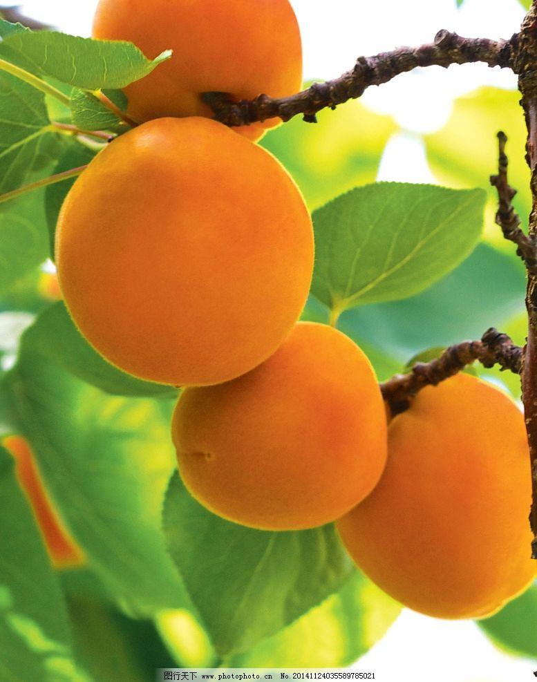 树上的橙色的杏仁果图片