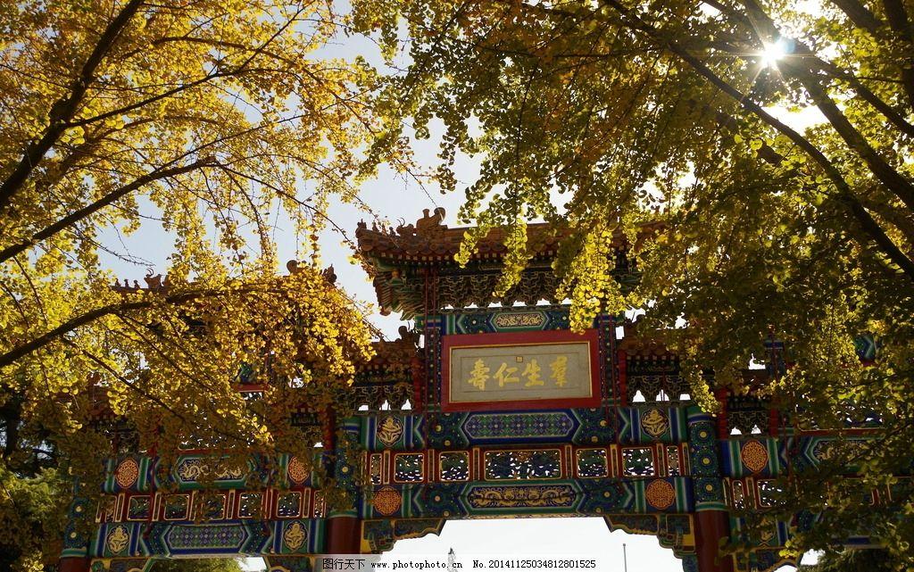树叶 树木 植物 黄叶 摄影 生物世界 树木树叶 jpg高清 银杏叶 雍和宫