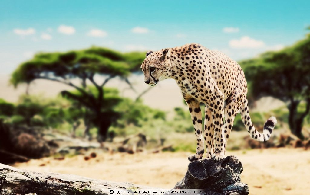 猎豹图片_野生动物_生物世界