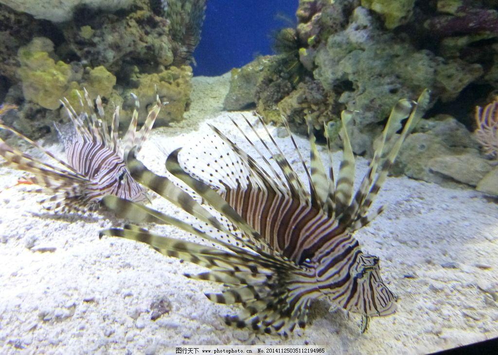 狮子鱼 水族馆 蓝色海水 海底世界 海洋世界 海底公园 浅海大陆架