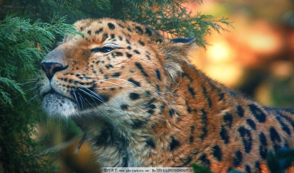 豹子 猎豹 豹纹 猛兽 猫科动物 猎豹摄影 豹子摄影 飞禽走兽