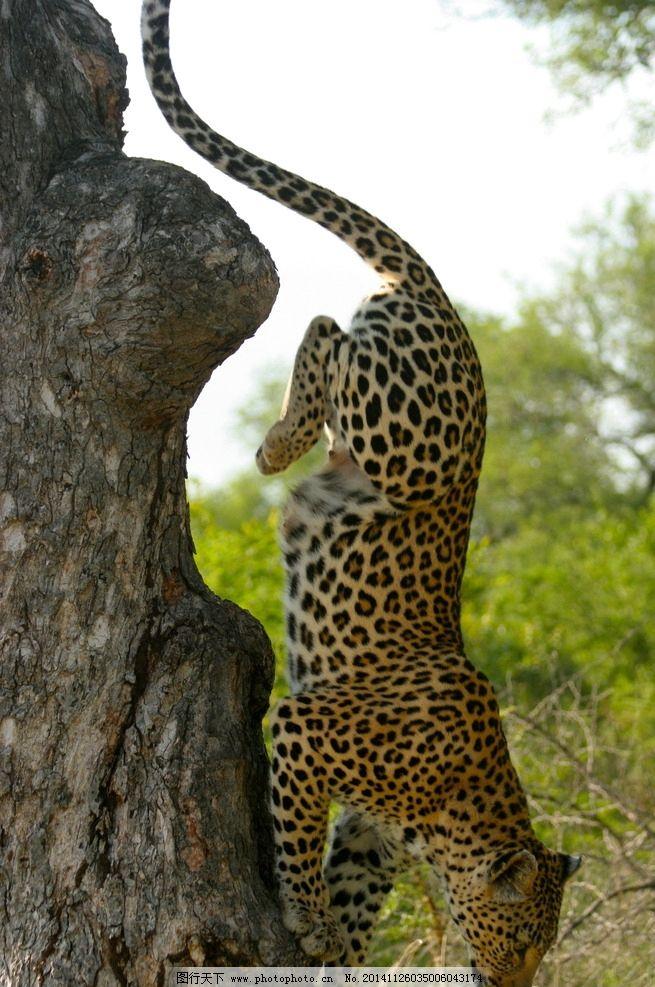 手机背景动物豹子