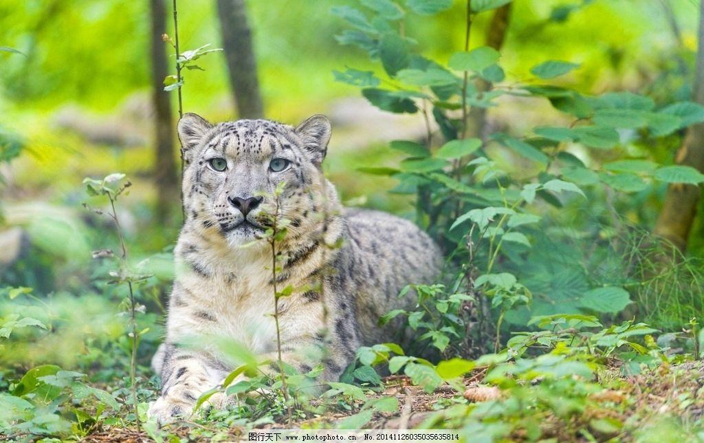 雪豹图片,豹子 猎豹 豹纹 猛兽 猫科动物 猎豹摄影-图