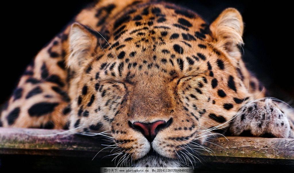 豹子 猎豹 豹纹 猛兽 猫科动物 猎豹摄影 豹子摄影 飞禽走兽 摄影