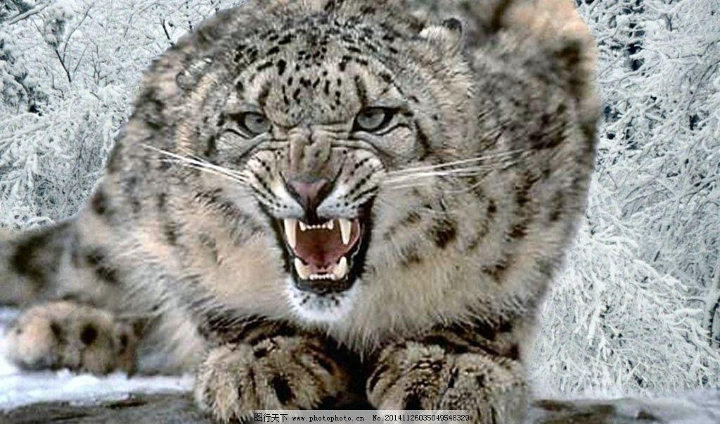 雪豹图片_野生动物_生物世界_图行天下图库